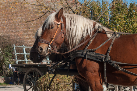 portrait of two horses  hitched to a cart in alsatian village