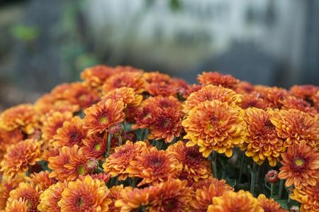 closeup of orange chrysanthemums flowers in the cemetery Stock Photo