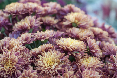 closeup of chrysanthemums flowers in the cemetery