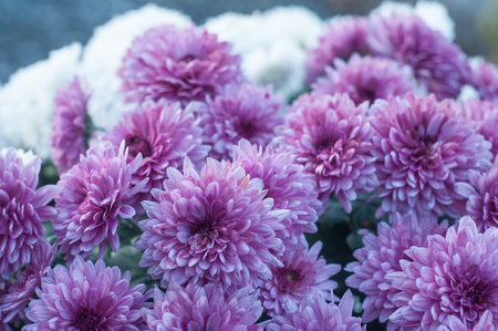 closeup of purple chrysanthemums flowers in the cemetery Banque d'images