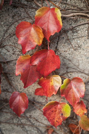 closeup of beautiful red leaves of ivy on cement wall