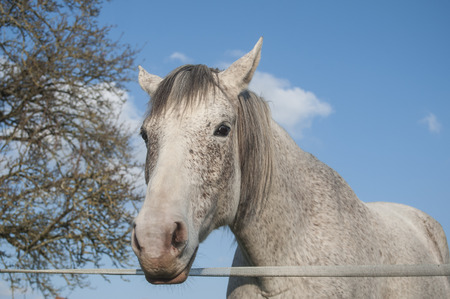 portrait of grey horse in a meadow behind an electric fence on blue sky background