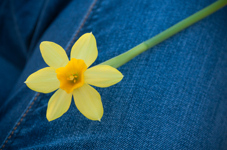 closeup of daffodil flowers in outdoor on blue jeans background