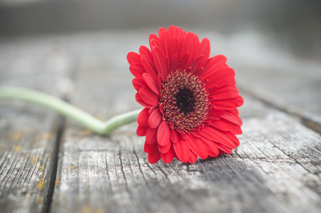 closeup of red gerbera on wooden table in outdoor  Stock Photo