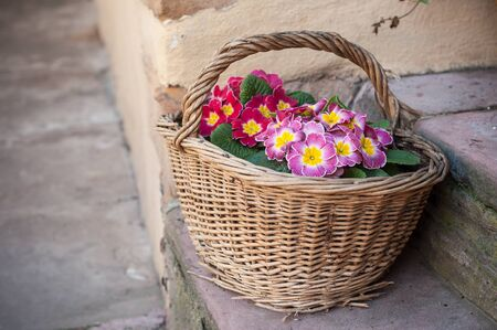 closeup of colorful primroses in a wooden basket in the street decoration
