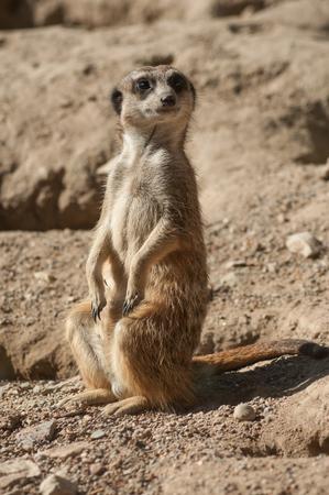closeup of meerkat standing on the land