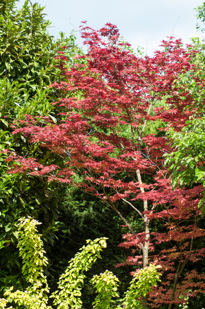 closeup of red japanese maple tree in a japanese garden Stock Photo