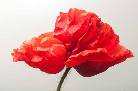closeup of poppy on white background