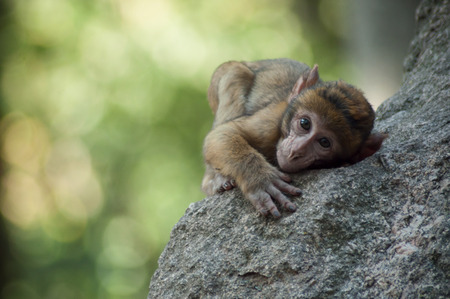 portrait of young expressive macaque on rock  in the forest