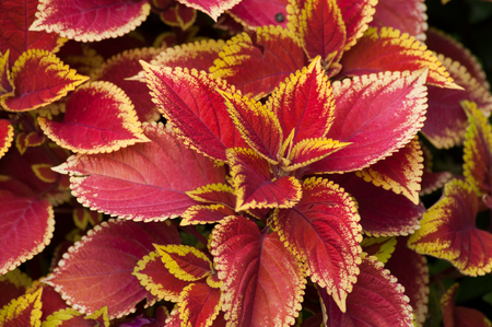 closeup of red coleus plant leaves in a public garden Stock Photo