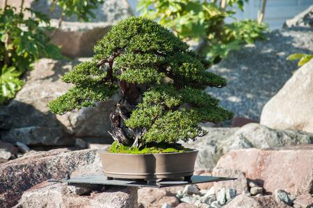 closeup of yew bonsai in a japanese garden Stok Fotoğraf