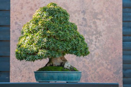 closeup of japanese maple bonsai in a japanese garden Stock Photo