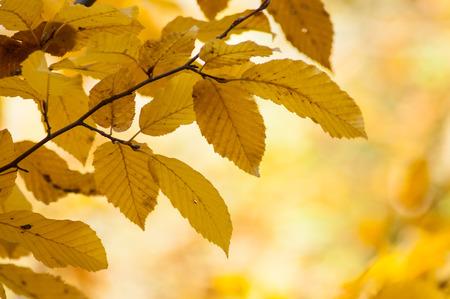 closeup of autumnal hornbeam leaves in autumn