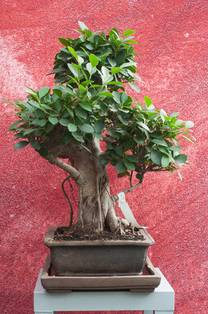 closeup of ficus retusa bonsai in pot on red wall background