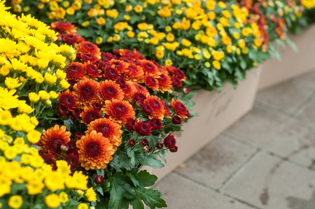 closeup of colorful mums alignment  in green house
