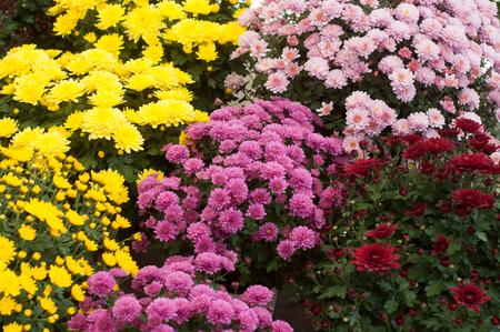 Libre de chrysanthèmes colorés au magasin de jardinage Banque d'images