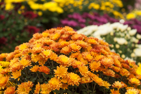 closeup of colorful chrysanthemums at gardening store Banque d'images - 111630310