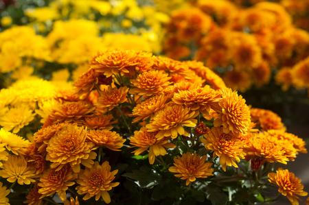 close-up van kleurrijke chrysanten in de tuinwinkel Stockfoto