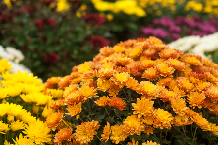 closeup of colorful chrysanthemums at gardening store