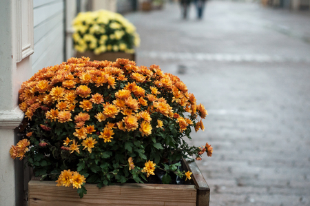 closeup of colorful chrysanthemums in pot in the street Banque d'images