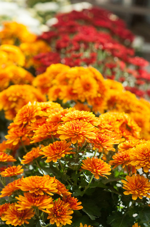 closeup of colorful chrysanthemums at gardening store Banque d'images - 111630380