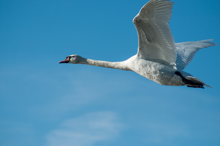 portrait of white swan flying on blue sky background