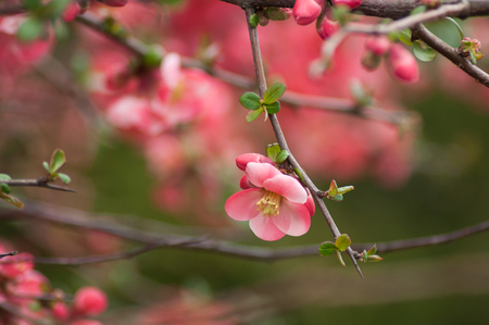 closeup of pink Japanese Quince Flowers or Chaenomeles 版權商用圖片