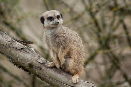 Primer plano de suricata de pie en la rama Foto de archivo
