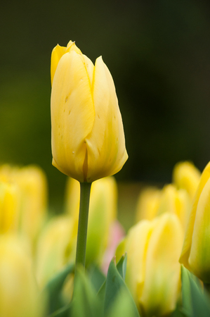 group of yellow Tulips in a tulips field