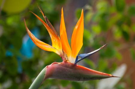 Primer plano de una flor de ave paradisíaca en un jardín tropical Foto de archivo