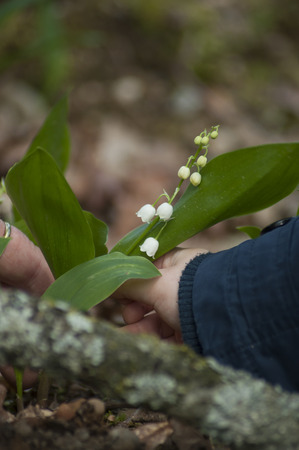 closeup of hand of child picking lily of the valley flowers in the forest