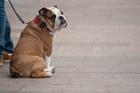 portrait of bulldog sitting in the street