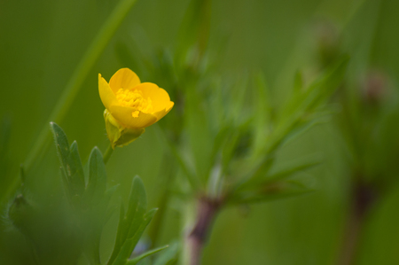 Closeup of yellow wild flowers in a meadow - ranunculus repens
