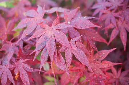 closeup of rain drops on red japanese maple leaves in a japanese garden