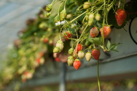 Closeup of organic strawberries in a greenhouse on sunlight view