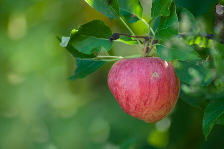 Closeup of red apple in apple tree for picking Stock fotó