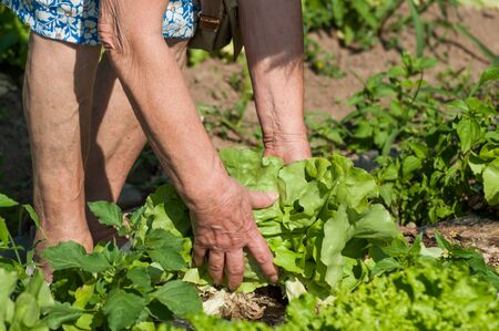Closeup of hands of old woman picking a salad in a field