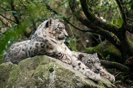 portrait of white panthers lying on the rock