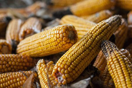 closeup of ears of dried corn stacked in a farm