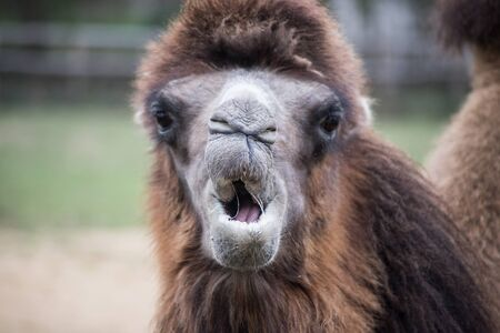Portrait of expressive Camel looking the camera