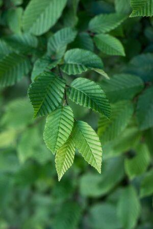 closeup of hornbeam leaves in hedge