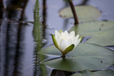 Closeup of white waterlilly flower in a japonese garden Banque d'images