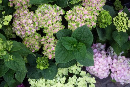 Closeup of various color hortensias at the florist Banco de Imagens