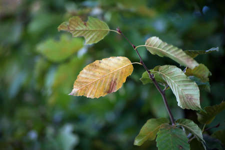 Closeup of autumnal leaves of hornbeam tree in the hedge