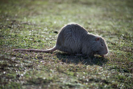 Portrait of white nutria standing in the grass in border water