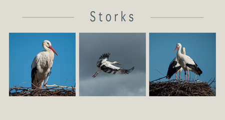 Collage of various views of Storks