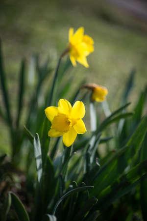 Closeup of yellow daffodils flowers in a public garden