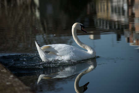 Portrait of white swan spashing in in the water of the river Stockfoto