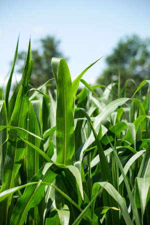 Closeup of corn leaves in a field by sunny day