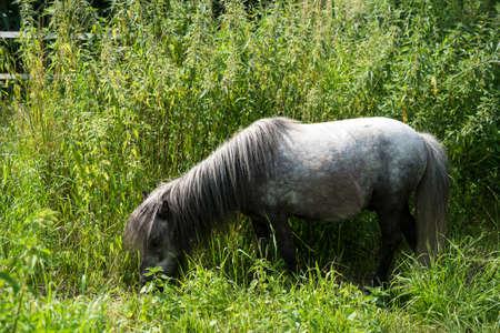 Portrait of grey pony grazing in a meadow